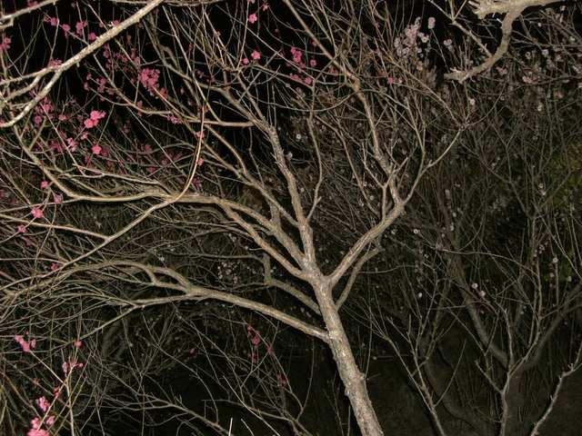 湯河原梅の宴ライトアップその4